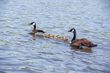 Baby Geese and Parents Swimming
