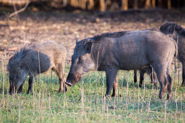 Wild pig grazing with piglets