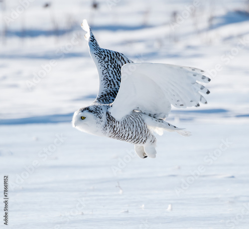 Poster Uil Snowy Owl