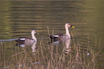 Spotbilled ducks pair swimming
