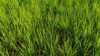 Rice field panoram_close shot
