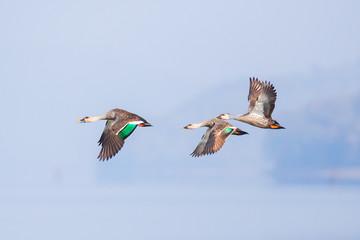 Spotbilled ducks in flight