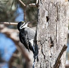Male Black-backed Woodpecker
