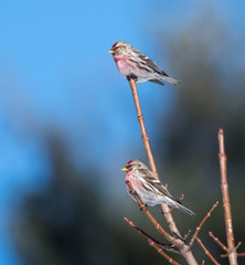 Common Redpolls in Winter
