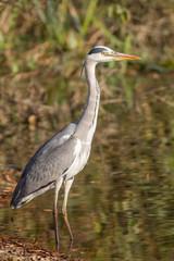 Grey heron (Ardea cinerea Linnaeus)