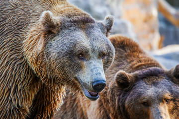 Grizzly Brown Bear head, close-up