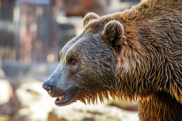Grizzly Brown Bear profile head, close-up