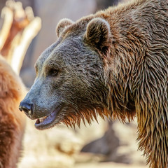 Grizzly Brown Bear profile head.