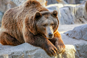 Grizzly brown bear lying on stone