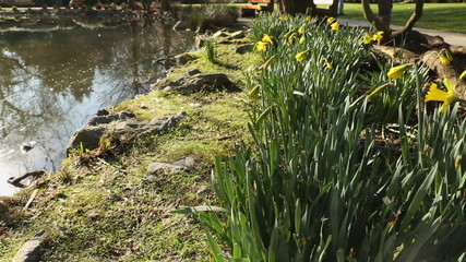 Early Daffodils by Pond