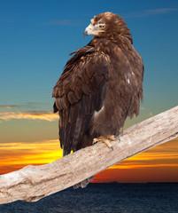 eagle against sunset sky