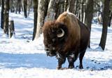 American Bison (Buffalo Meadow) in Winter