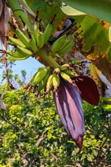 Banana blossom on background of garden.