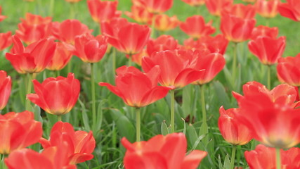 beautiful red tulips in the spring