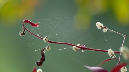 Footage of wild globe amaranth flowers with spider web shaking