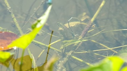 Footage of the female damselfly lay eggs under the water