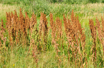 sorrel horse on a green background. Rumex acetosa