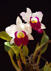 White orchid,Cattleya on black background