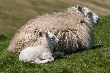 ewe with newborn lamb