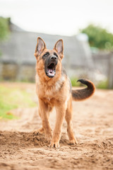 German shepherd dog barking