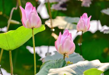 Wild lotuses