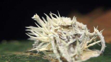 Cordyceps fungus infecting a fly in rainforest, Ecuador