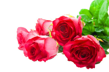 The buds of red roses
