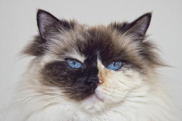 Blue Eyes white and black ragdoll cat portrait