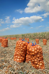 Agricultural scene, bags of onion in field after harvest