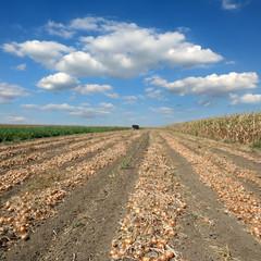 Agricultural scene, onion field after harvest, rural landscape