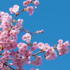 Frühlingsanfang, Blütenzweige vor blauem Himmel