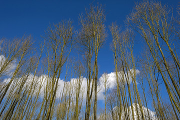 Bare trees under a sunny sky in winter