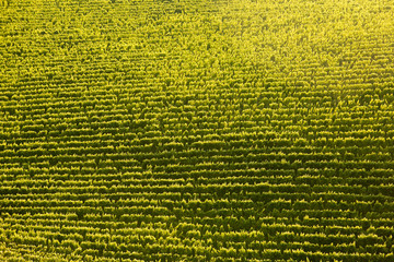 Vine rows in perfect sunlight