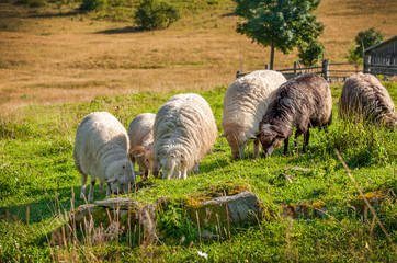 Flock of sheep grazing on the hills of the mountains