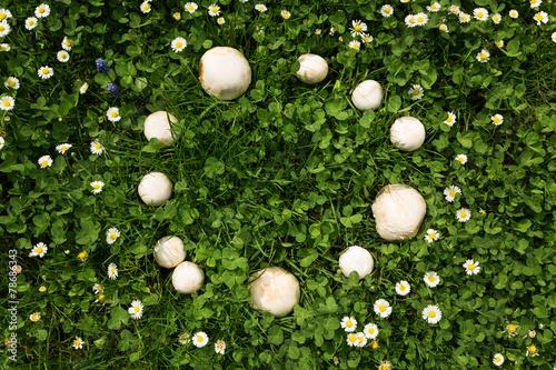 Foto op Plexiglas Paardebloem Feenring mit Pilzen auf einer Wiese