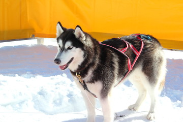 Siberian Husky mit Geschirr für Hundeschlitten