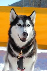 Portrait eines Schlittenhundes (Siberian Husky)