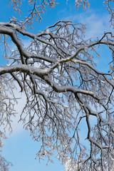 Intreccio di rami ghiacciati su cielo azzurro