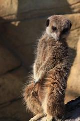 suricate debout standing meerkat