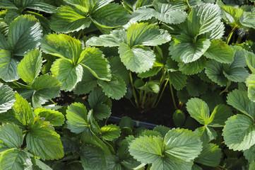 Green leaves of strawberries