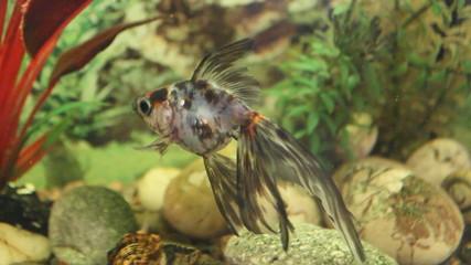Goldfish swim in aquarium