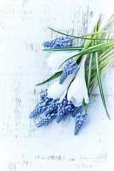 Blue grape hyacinths and white crocus flowers