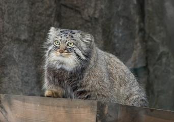 Манул (Палласов кот)