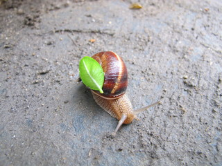 Land snail with a fresh green leaf on its shell