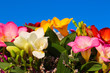 bouquet of flowers from fresia on the background of blue sky