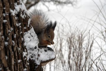 Squirrel in winter.