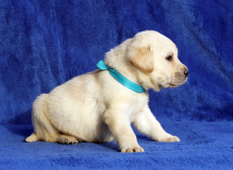 little yellow labrador puppy laying on the blue background