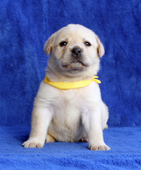 proud yellow labrador puppy laying on the blue background