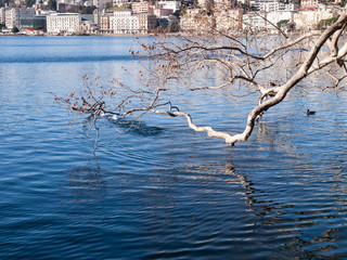 Lugano, tree branch on the water