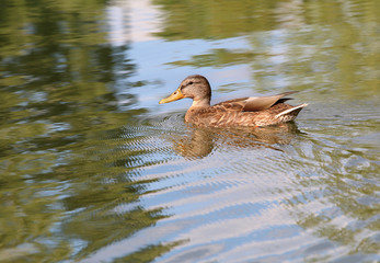 Portrait of a females of duck on the water